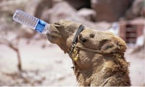 Camel-drinking-Jordan-Pet-007